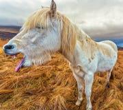 Rire de cheval image stock