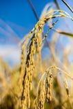 Ris av fältet Royaltyfria Foton