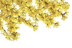 Ris av forsythia med gula blommor på en vit bakgrund Royaltyfria Bilder
