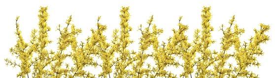 Ris av forsythia med gula blommor på en vit bakgrund Royaltyfri Foto