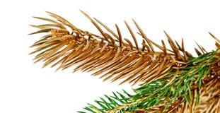 Ris av grantreen. Arkivbild