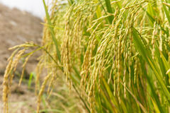 Ris broddar i risfält Royaltyfri Fotografi