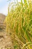 Ris broddar i risfält Fotografering för Bildbyråer