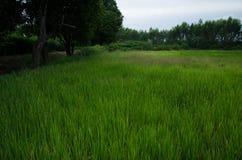 Ris cornfield, gräsplan Royaltyfria Foton
