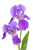 Íris da flor Imagens de Stock