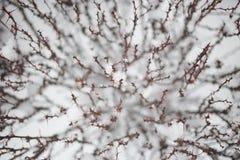 Ris för suddighetsbakgrundsbarberry Royaltyfria Foton