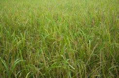 Ris flåsar risfält öron av havreröra Arkivfoton