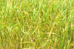 Ris i lantgård förbereder sig att skörda Royaltyfria Foton
