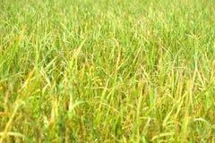Ris i lantgård förbereder sig att skörda Fotografering för Bildbyråer