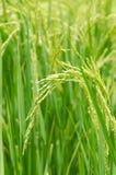 Ris kärnar ur i risfält Arkivbild