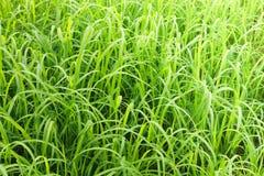 Ris lämnar risfältfältet arkivfoton