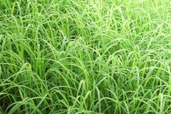 Ris lämnar risfältfältet Royaltyfri Bild