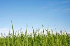 Ris med blå himmel Arkivbilder