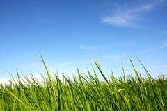 Ris med blå himmel Royaltyfri Foto