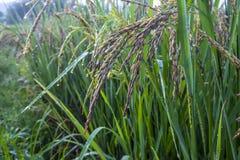 Ris med vattendroppar Arkivbild