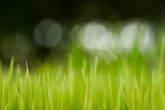 Ris Nya gröna ris med closeupen för daggdroppar slapp fokus Abstr Arkivfoton