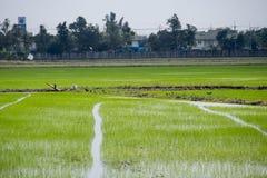 Ris och gräs i Thailand Royaltyfria Foton