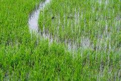 Ris och gräs i Thailand Royaltyfri Fotografi