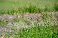Ris och gräs i Thailand Royaltyfri Bild