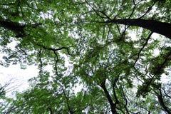 Ris- och himmel-Cinnamomum camphora Royaltyfri Bild