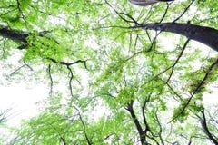 Ris- och himmel-Cinnamomum camphora Arkivfoton