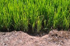 Ris och jord Royaltyfri Fotografi