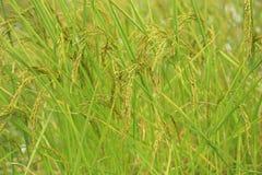 Ris på fälten Royaltyfria Foton