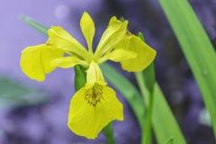 ?ris Pseudacorus Flor da ?ris amarela Vetor abstrato da natureza fotos de stock