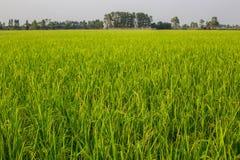 Ris (sädes- växt) Royaltyfria Bilder