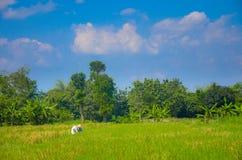Ris skördar, Yogyakarta, Java, Indonesien royaltyfria bilder