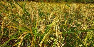Ris som blom royaltyfri foto