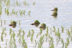 Ris som kärnar ur på risfält Royaltyfri Foto
