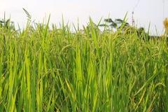 Ris som mognar i fältet Royaltyfri Foto