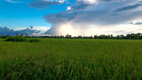 Ris som sparas i den universitetsläraredeng ön Royaltyfria Foton