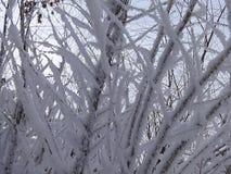Ris som täckas med rimfrost och insnöad vinter royaltyfri bild