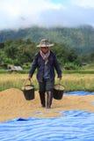 Ris som tröskar på November 8, 2014 i Lampang, Thailand Arkivfoto