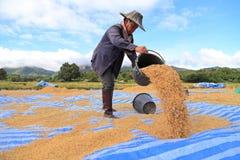 Ris som tröskar på November 8, 2014 i Lampang, Thailand Arkivbilder