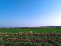 Ris som växer på jordbruksmark Arkivbild