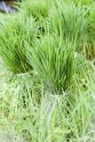 Ris spirar i packar Royaltyfri Bild