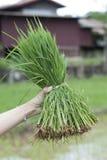 Ris spirar i packar Arkivfoto