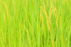 Ris stänger sig upp Royaltyfri Fotografi