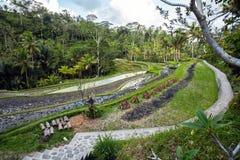 Ris terrasserade risfältfält i Gunung Kawi, Bali, Indonesien Arkivbilder