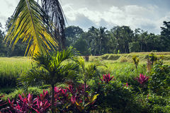 Ris terrasserar i regnet, Bali en indonesisk ö Arkivbilder