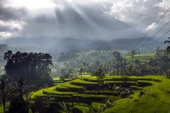 Ris terrasserar i regnet, Bali en indonesisk ö Arkivfoto