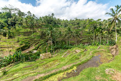Ris terrasserar i Tegallalang, Ubud, Bali, Indonesien fotografering för bildbyråer
