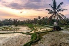 Ris terrasserar i Tegallalang, Ubud, den Bali, Indonesien skörden, lantgård, arkivfoto