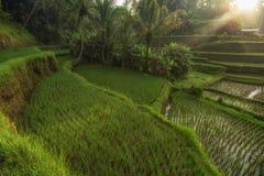 Ris terrasserar i Tegallalang, Ubud, den Bali, Indonesien skörden, lantgård, Royaltyfria Bilder