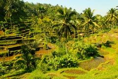 Ris terrasserar mellan palmträd, Ubud, Bali Indonesien Arkivfoton