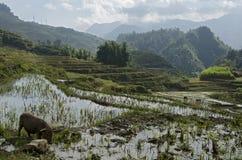 Ris terrasserar nära Sa-PA Royaltyfria Foton
