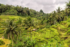 Ris terrasserar nära Ubud, Bali, Indonesien Arkivfoton